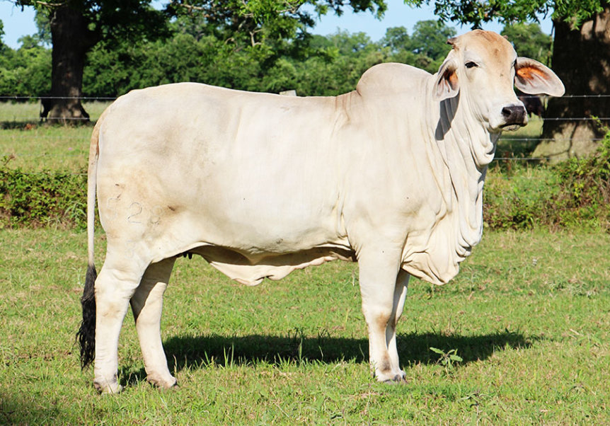 Scurred Brahman Cow